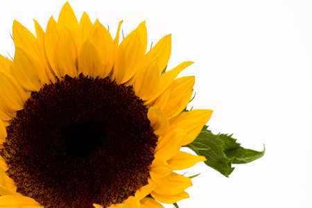 Isolated sunflower over white background
