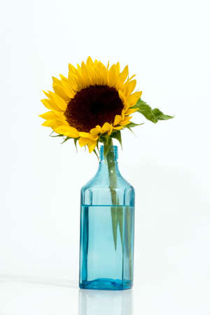 Gorgeous sunflower. Isolated over white background