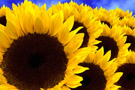 Beautiful yellow Sunflowers closeup