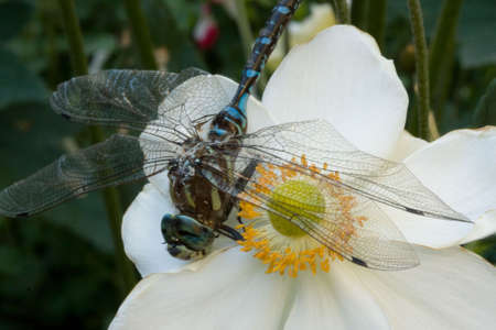 Close-up of a dragonfly on a white flower Stock Photo