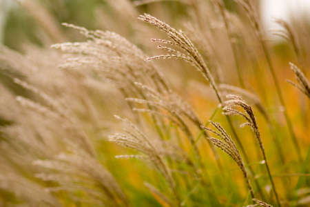 Ornamental grass blowing in the wind