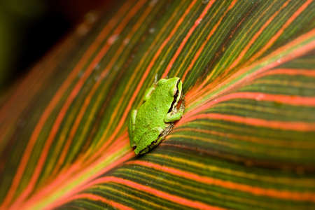 A small green frog on the center of a leaf Stock Photo