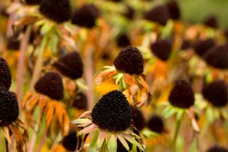 A field of black eyed susans