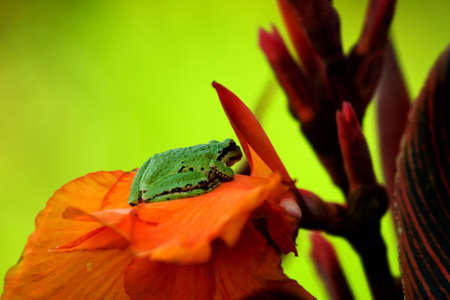 Green frog on a orange flower Stock Photo