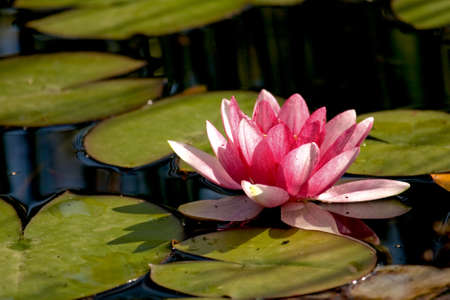 Lilly pads in a pond with a pink flower Stock Photo