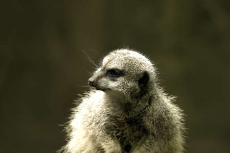 A meerkat looking around