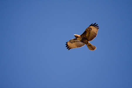 prey: Red-tailed Hawk flying above Stock Photo