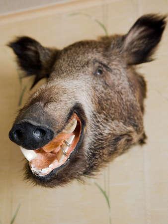hoofed: The head of a wild boar, stuffed.