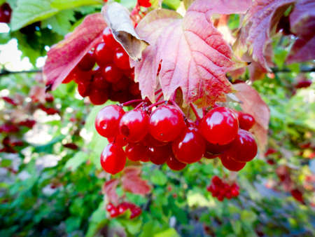 viburnum: Viburnum in the garden.