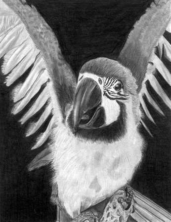 grafito: Parrot  Guacamayo  Original Graphite Ilustraci�n Foto de archivo
