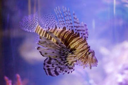is poisonous: Poisonous lionfish