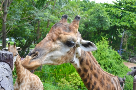 A giraffe grazing in a tree photo