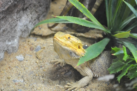 The Bearded Dragon photo