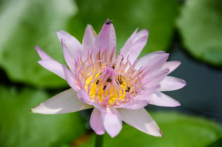 bee swarm: bee swarm water lily, lotus in nature