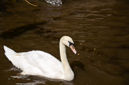white swan in the river photo