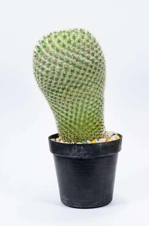cactus whit background photo