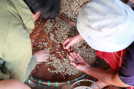 coffee harvest: Workers are choosing coffee beans