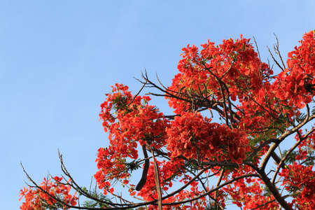 Orange flowers tree with blue sky  photo