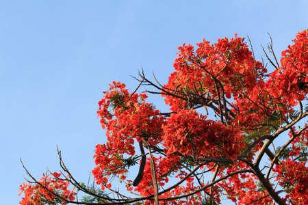 Orange flowers tree with blue sky  photo