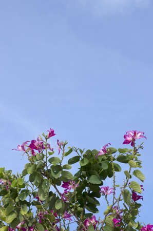 Butterfly Tree, Orchid Tree, Purple Bauhinia with blue sky photo