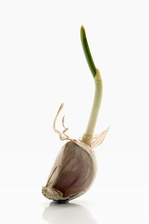 garlic clove with a growing leaf over white background photo