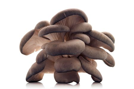 oyster mushroom over white background photo