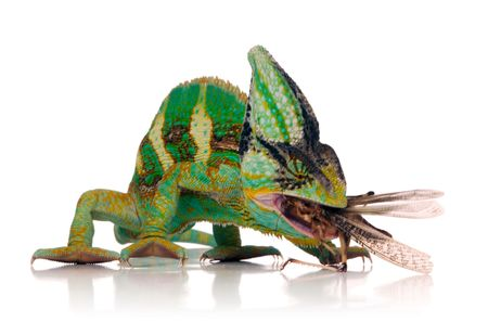 over eating: chameleon eating a cricket over white background Stock Photo