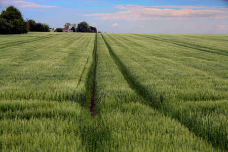Lines in the corn field. From Bjerager, Denmark photo