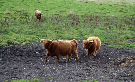 Scottish Cattle. From a field at Ebeltoft near Aarhus, Denmark Stock Photo