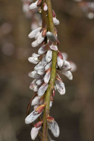 Close-up of catkins on a willow tree Stock Photo - 4506559