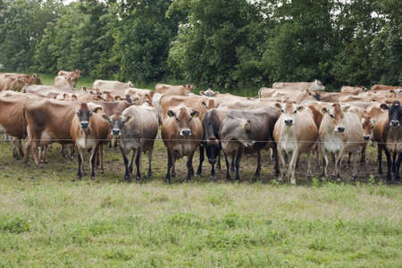 A herd of jersey cows in a field near Vejen,  Denmark photo