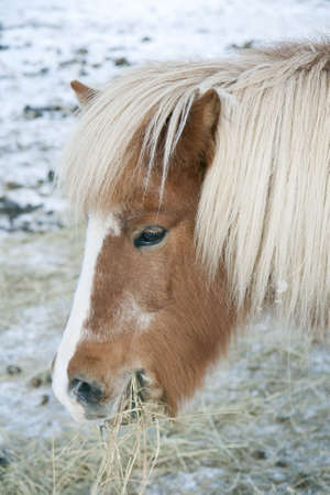 Icelandic horse eating hay in a field at wintertime photo