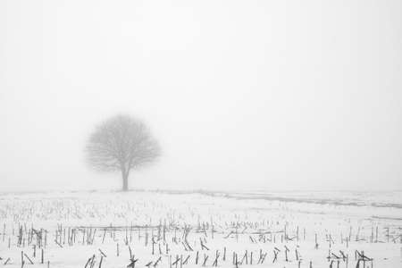 Black and white photo of a tree in a corn field in fog at winter time.