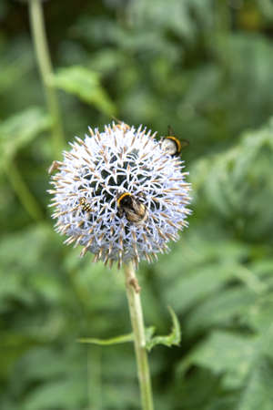 stamen wasp: Insects on a taplow blue globe thistle  Copy space Stock Photo