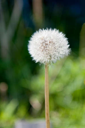 Closeup on dandelion with seeds. Can be used as background Stock Photo - 30547538