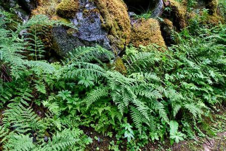 bracken: Moss and bracken on rocks, Closeup. Shot from Norway