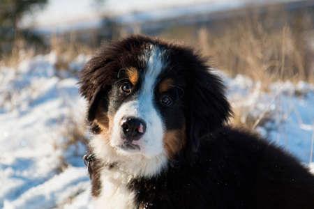 sennen: Closeup on berner sennen puppy in the snow Stock Photo