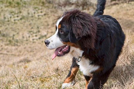 sennen: Closeup on berner sennen puppy. Copy space Stock Photo