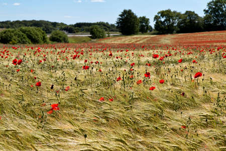 Poppies in a corn field on a summer day