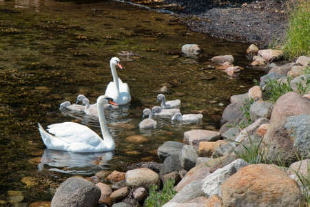 Closeup on two swans with seven cygnets Stock Photo