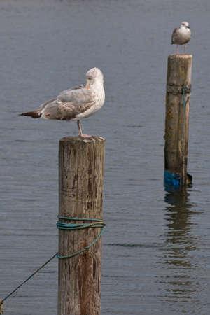 Closeup on two seagulls sitting on mooring poles