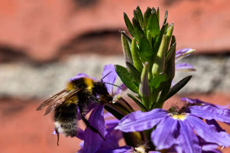 Closeup on a bumblebee on a purple flower. Stock Photo