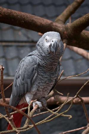 Closeup on a grey parrot, psittacus erithacus