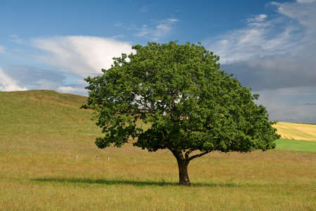 Lonely tree in a field on a summer day