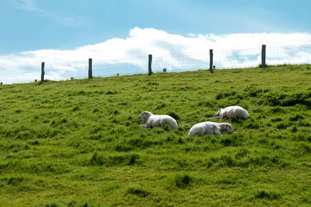 Resting sheep on a hill at Husum, Germany