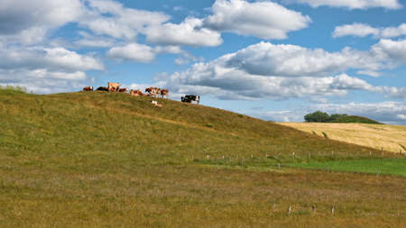 Cattle on a hill on a summer day