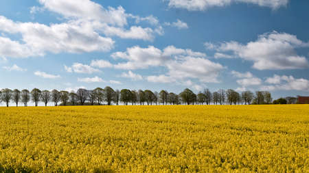 Rapeseed field against the blue sky with trees in the background