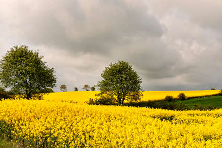 Rape seed field on a cloudy day