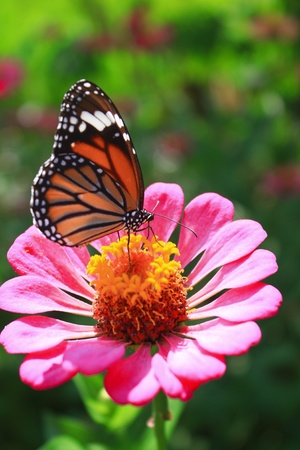 Flower and Butterfiy photo
