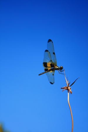carboniferous: Dragonfly  in Thailand